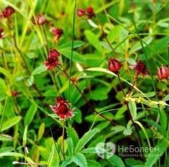 Сабельник болотный - полезные свойства и противопоказания