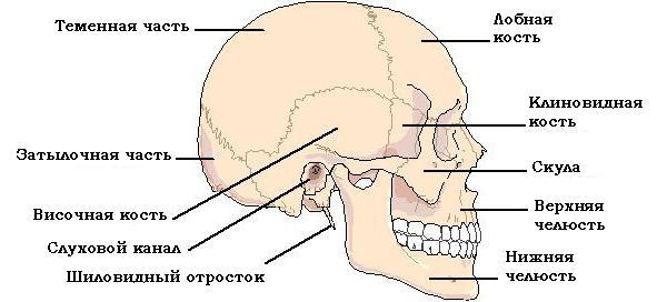 Перелом основания черепа - выжиываемость, последствия и образ жизни