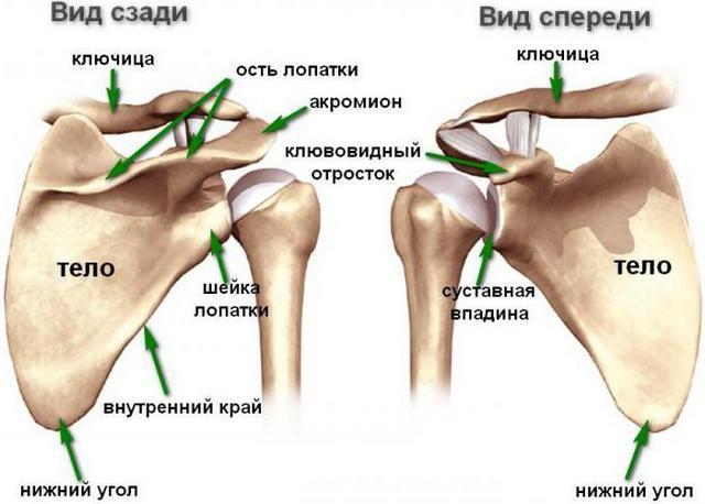Болит спина в области лопаток - причины и лечение