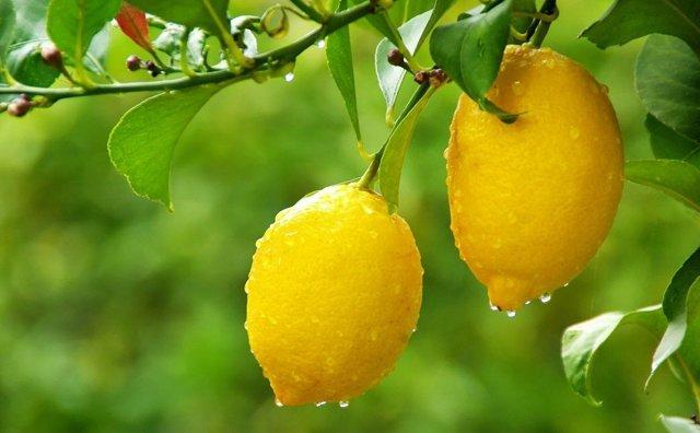Лимон при подагре - польза или вред? Особенности цитруса