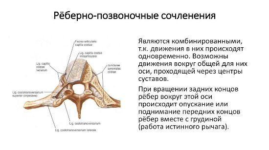 Артроз реберно-позвоночных суставов - характеристика и лечение